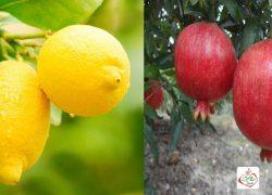 پیوند ژنتیکی انار با لیمو+فیلم