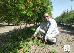 هرس سبز درخت انار برای تهویه هوا-دکتر میرزنده دل