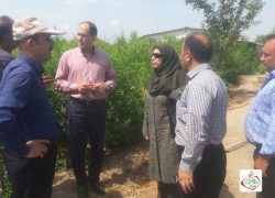 بازدید رئیس گروه نهال و بهبود ارقام معاونت باغبانی جهاد کشاورزی به اتفاق همکاران از نهالستان انار صاحبی