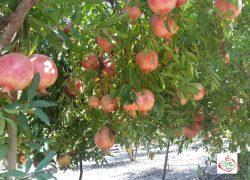 باغ انار دکتر باقری+ تصاویر