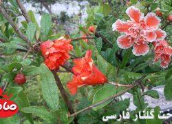 گلدهی درخت انار  رقم گلنار فارسی + فیلم