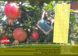 نصب کارت زرد  جلب کننده حشرات و رها سازی زنبور تریکوگراما در باغات انار شمال کشور