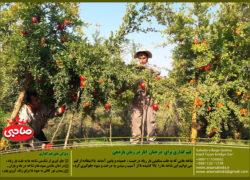 قیم گذاری برای  درختان  انار در زمان باردهی + فیلم