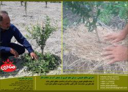 اجرای مالچ طبیعی، برای جلو گیری از تبخیر آب در باغات انار