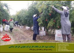 برداشت میوه انار در باغات شرکت انار صاحبی در سال ۱۳۹۸ + فیلم و عکس