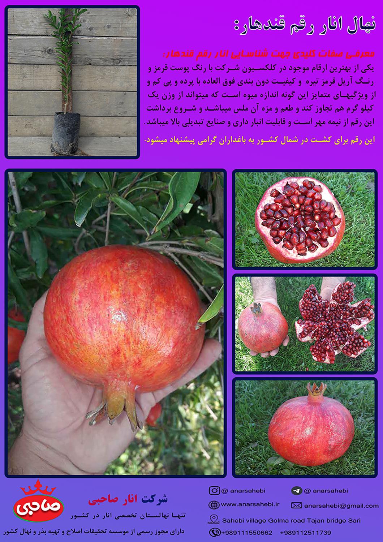 نهال انار قندهار افغانستان